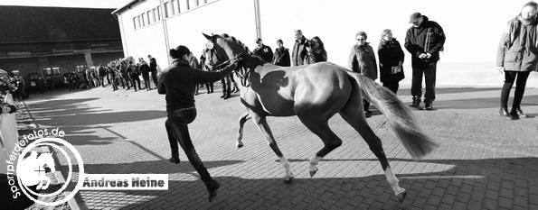 Mitteldeutsche Körung - Prussendorf - Pony und Spezialrassen 2017